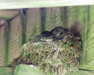 phoebe nest under my porch summer solstice 2016